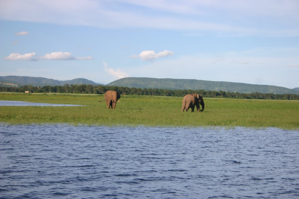 African Elephants in Lake Kariba - Zimbabwe