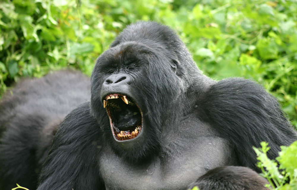 Congo Silverback Gorilla Safari Tours & Packages