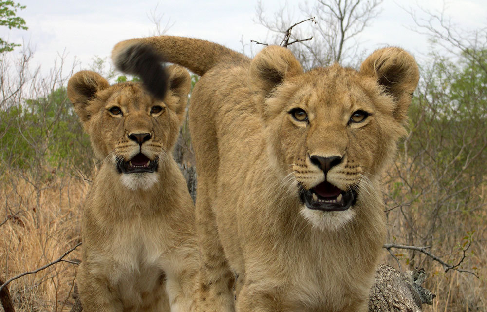 Lions in 'Lion Country' - Zimbabwe