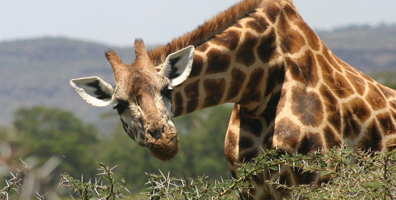 Giraffe Safari width=