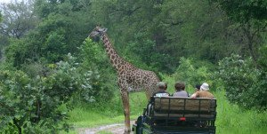 Giraffe standing in the road in front of a safari jeep