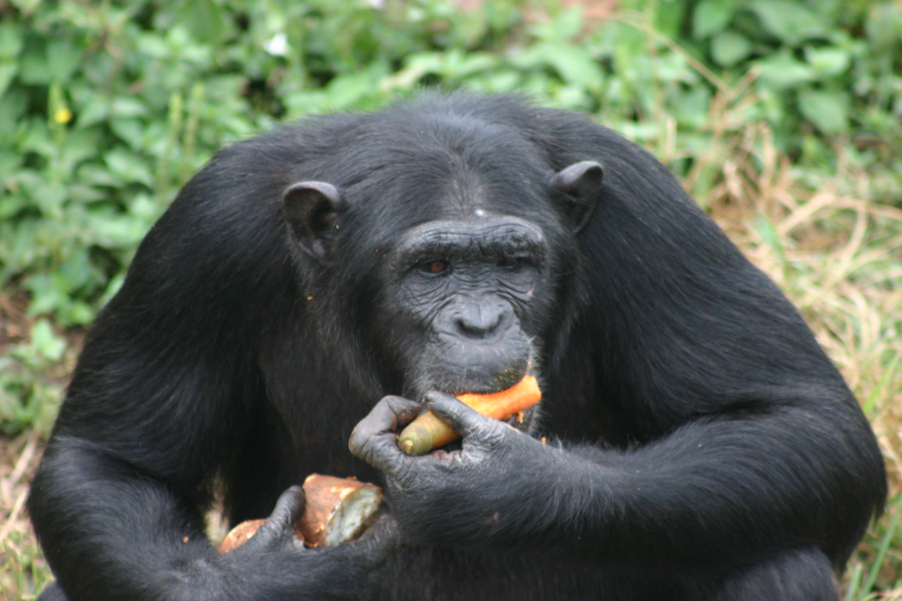 A chimpanzee chewing on fruits