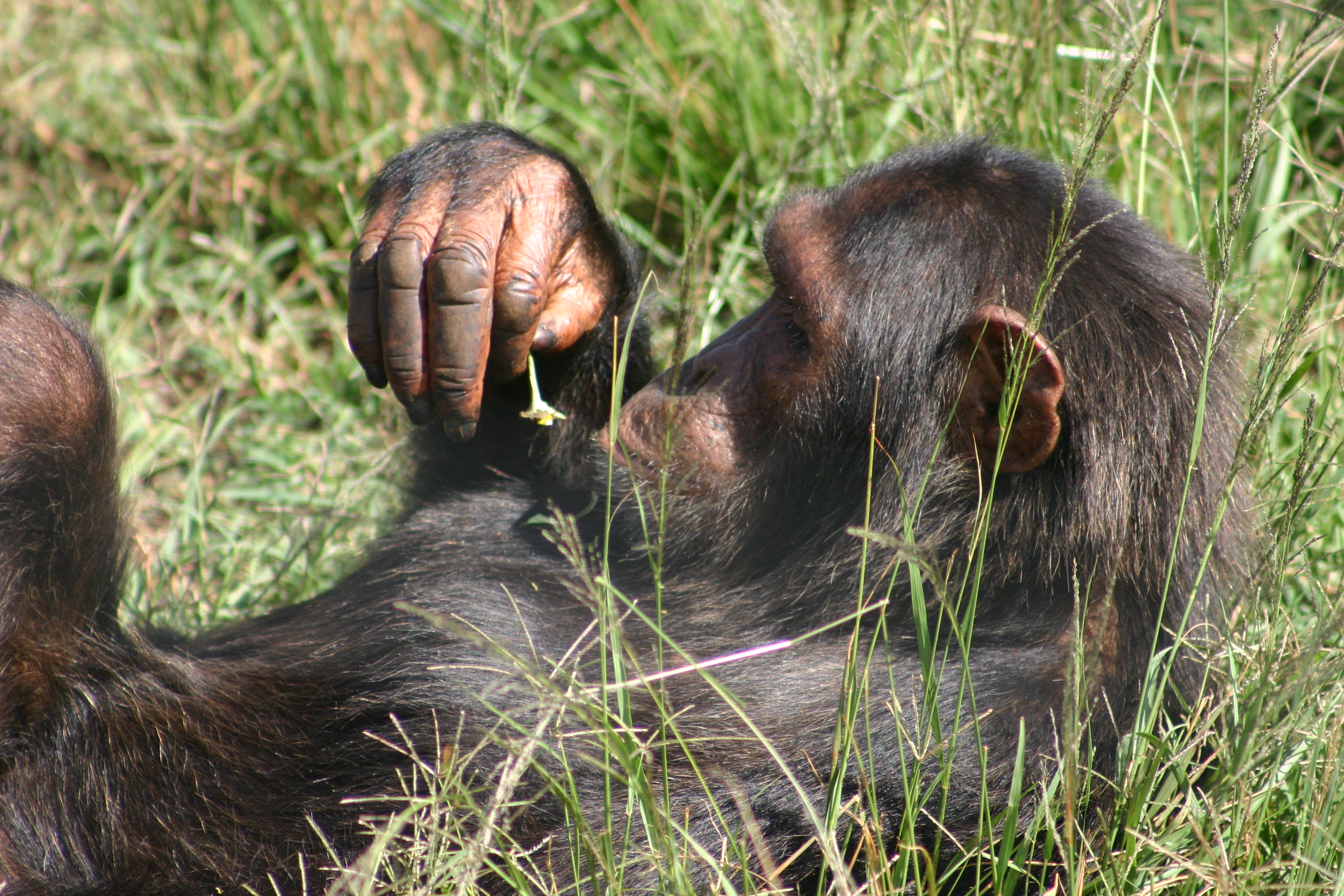 Chimpanzee playing with a flower
