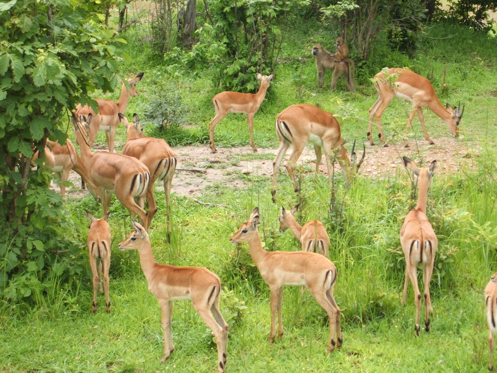 Impalas in South Luangwa National Park -Zambia