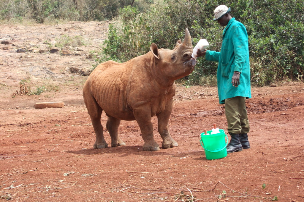 Feeding time for a baby rhino at the Sheldrick Elephant Orphanage - Nairobi, Kenya